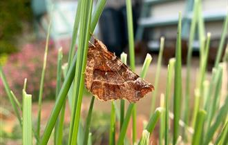 Brown coloured moth in high grass