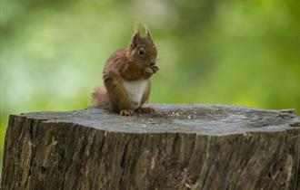 Picture of a red squirrel eating