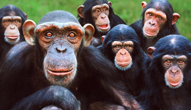 Chimpanzee family at Monkey world